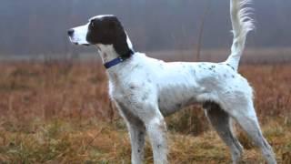 Все породы собак.Английский сеттер (English Setter)