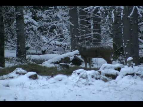 Huge Saskatchewan whitetail deer shot!