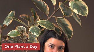 18 of 365: Ficus elastica 'Variegata' (Rubber Tree) Houseplant Care