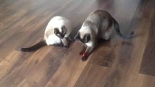 Момент, когда кот осознал связь красной точки и хозяина :D
