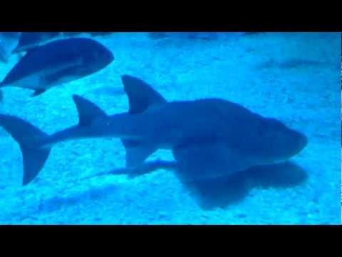 Bowmouth Guitarfish at Dubai Mall Aquarium, Dubai, UAE
