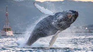 Потрясающие фото китов и косаток у берегов Норвегии