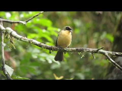 Black-goggled Tanager - Trichothraupis Melanops - Intervales, Brazil