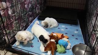 Coton Puppies For Sale - Isha 6/3/21