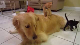 Silly Orange Foster Kitten Sitting On Top of Big Dog - 5 Weeks Old - English Cream Golden Retriever