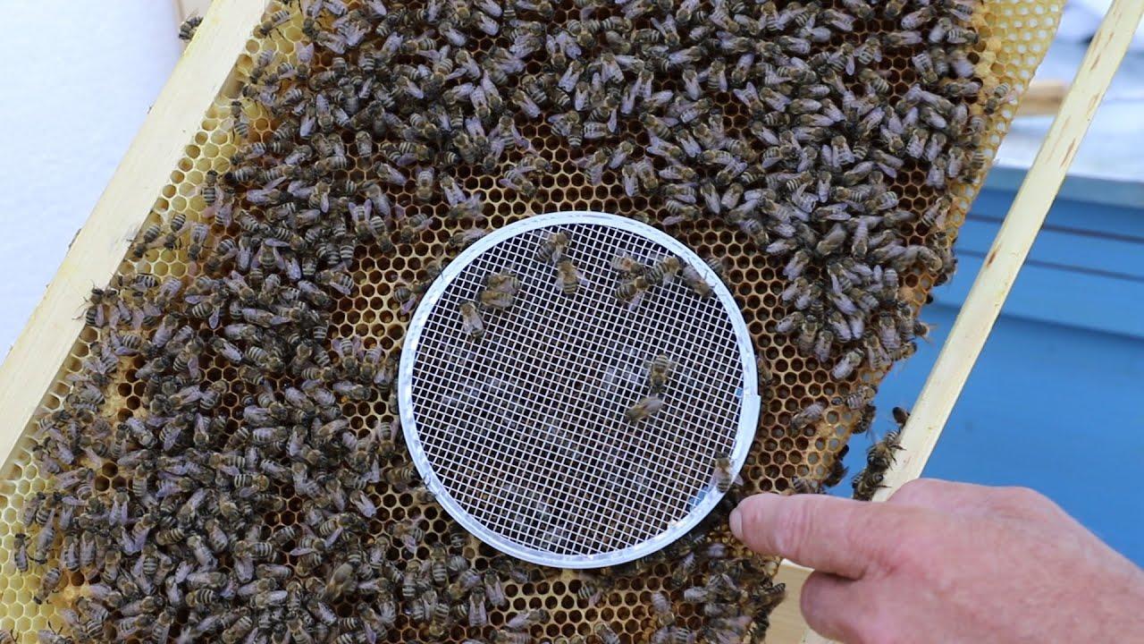 Как подсадить пчеломатку в отводок под колпачок?