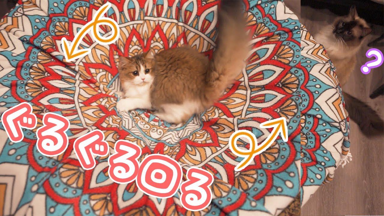 ぐるぐる回る子猫と不審顔のラグドール猫がかわいい♪