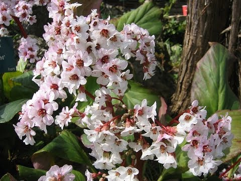 Amazing And Most Beautiful Bergenia Flowers | Uses