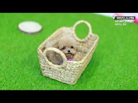 Teddy Bear Poodle Amazing Amount of Fur!!!- dogcastle Teacup Puppies