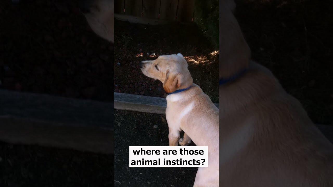 Labrador puppy scared of a squirrel 😂 #shorts