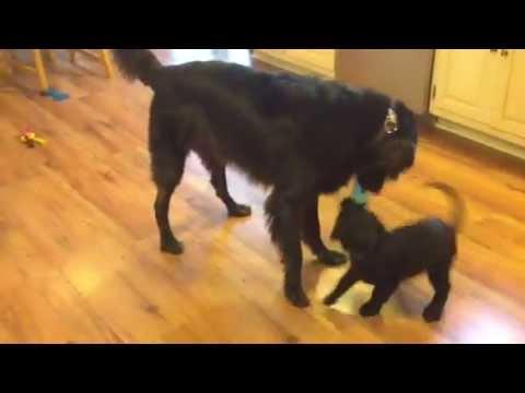 Flat-coated retriever dog & puppy