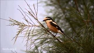 Video Masked Shrike - Lanius nubicus - חנקן נובי download MP3, 3GP, MP4, WEBM, AVI, FLV Juli 2018
