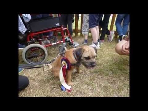 Border Terrier wins the terrier racing - New Forest Show 2016