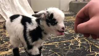 Baby goat making the cutest noise