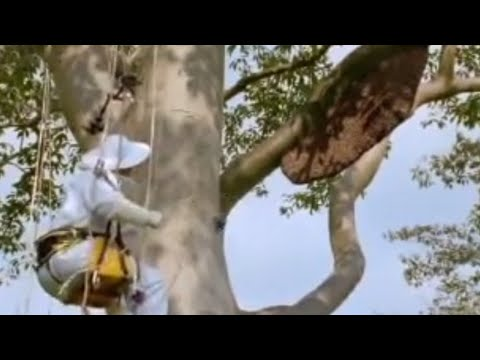 Giant honey bees – Life in the Undergrowth – BBC Attenborough