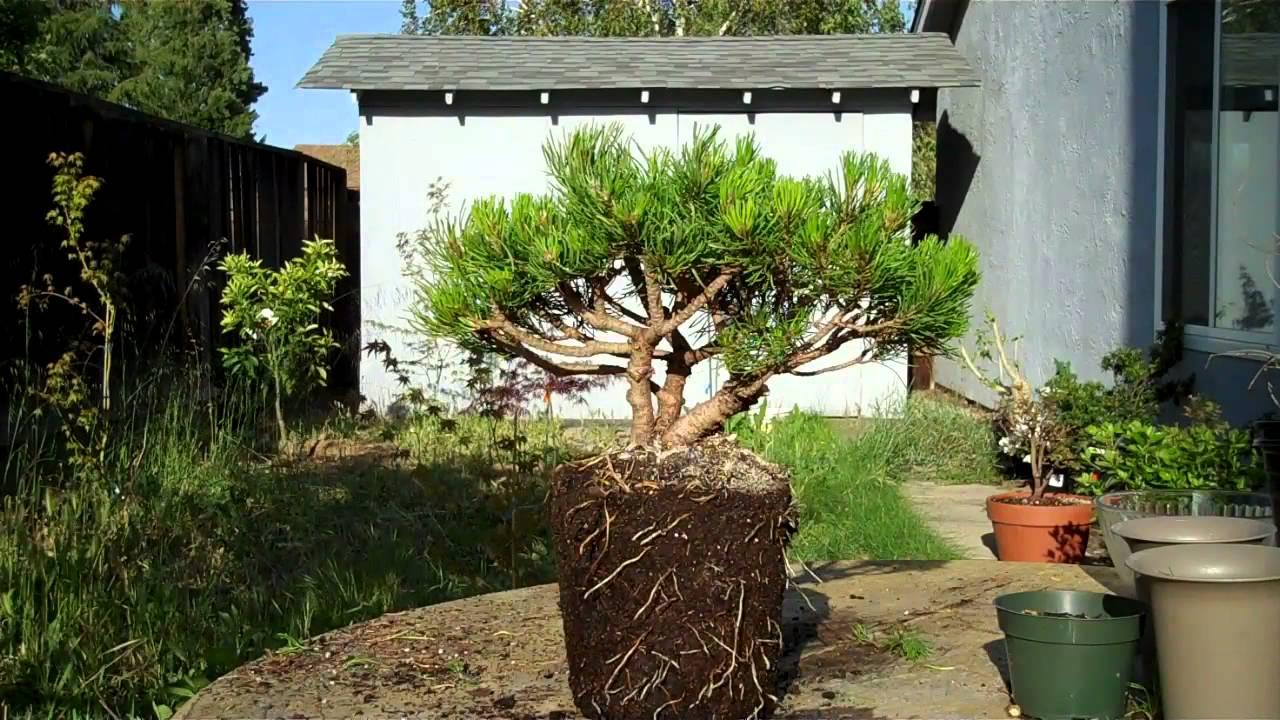 Mugo Pine Bonsai Preparation Part Ii Mp4 Youtube