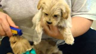 Maltipoo Puppies - April 29, 2015