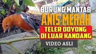 Burung Anis Merah Teler Doyong Di Teras - Punglor Merah Gacor