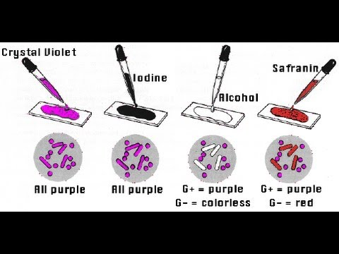 gram staining amrita university youtube - Coloration De Gram Protocole