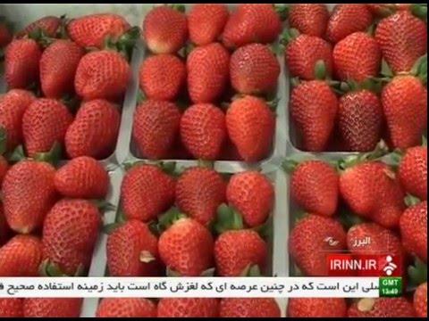 Iran Alborz province, Strawberry greenhouse گلخانه توت فرنگي استان البرز ايران