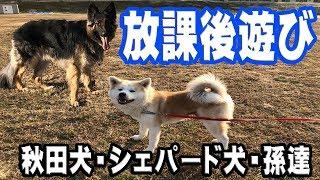 grandchild and German Shepherd dog 学校・幼稚園それぞれから帰宅する...