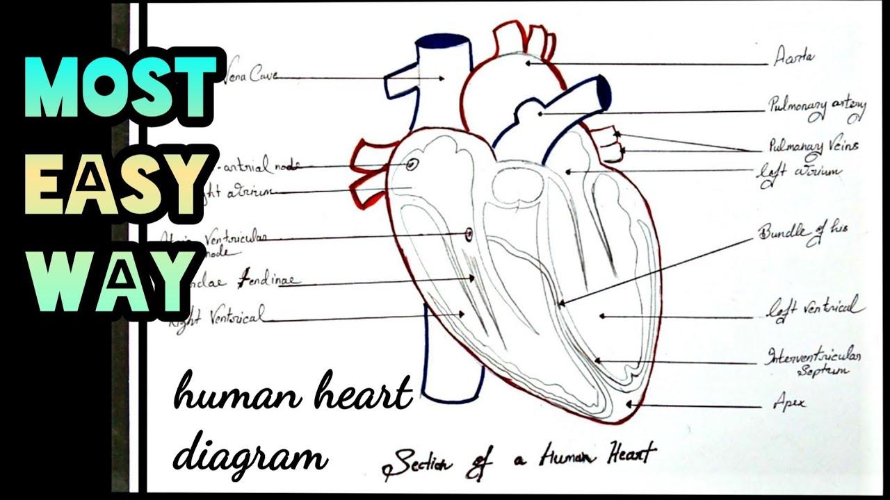 heart: Human Heart Diagram Class 10