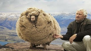 This sheep  escaped  For 6 Years  when he returned Everyone was amazed