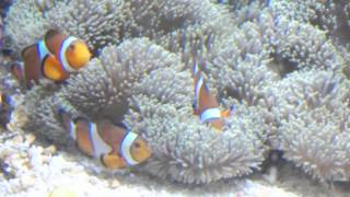 青いサンゴ礁♪