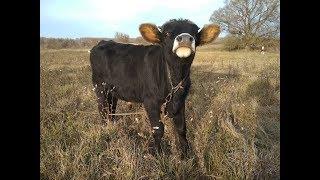 Как определить живой вес быков без весов.