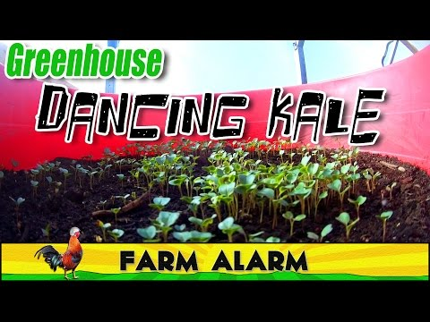 Dancing Kale Timelapse in our Greenhouse #Organic #Permaculture