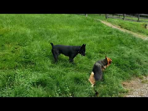Dog Behavior. Alpha Vs Submissive