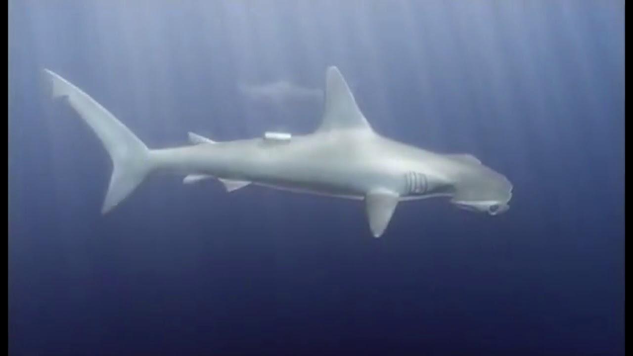 Requins Sous Haute Surveillance - Documentaire animalier