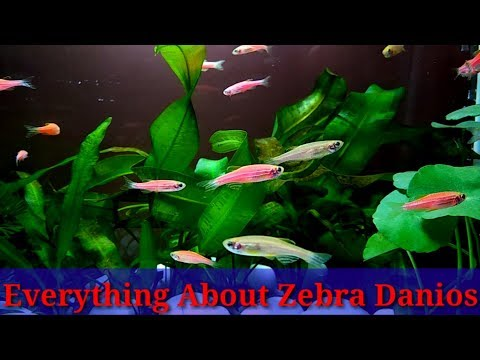 Everything About Danios Fish