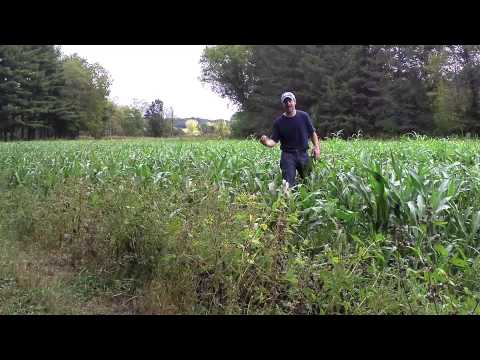 sorghum food plots
