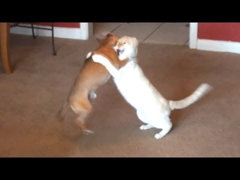 Dog VS Cat Wrestling Competition. MMA Fight! Hilarious! Please Vote for Kiki OR Sibelius!!!