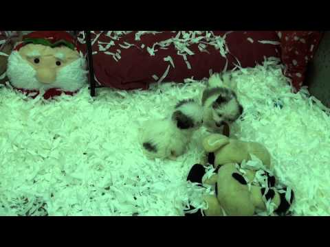 Little Rascals Uk breeders New litter of Japanese Chin xMaltese