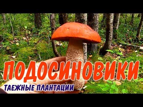 ВЫЖИВАНИЕ ГРИБ ПОДОСИНОВИК  Сбор грибов на шоковой грибнице