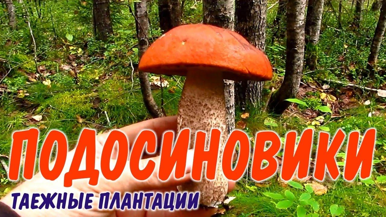 сбор грибов в ленинградской