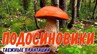 ГРИБ ПОДОСИНОВИК  Сбор грибов на шоковой грибнице. Грибы в тайге.