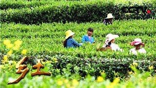 《乡土》 20190604 行走魅力茶乡 采茶舞曲诞生地——泰顺| CCTV农业