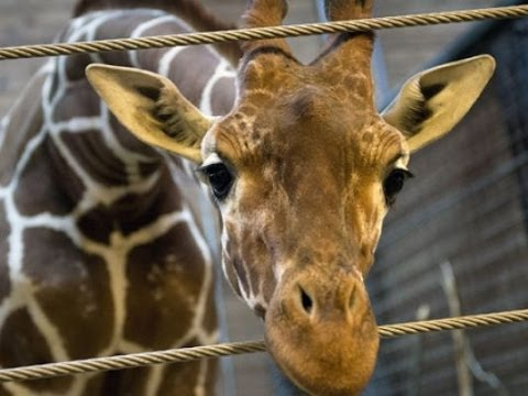 Second Danish ZOO Planning to Put DOWN Healthy Male Giraffe?!!!
