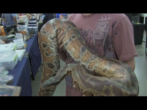 A Gigantic Blood Python at Repticon Tampa