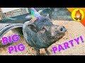 BIG PIG PARTY!