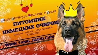 ЩЕНКИ НЕМЕЦКОЙ ОВЧАРКИ В КИЕВЕ. GSD puppies in Kiev!