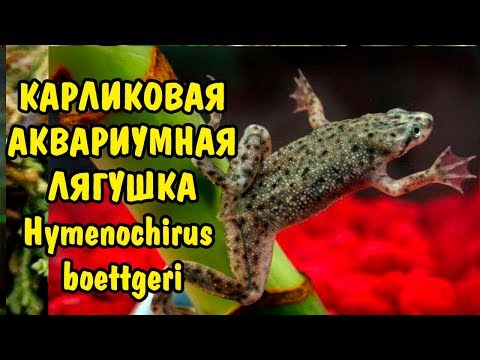 ЛЯГУШКА КАРЛИКОВАЯ АКВАРИУМНАЯ. Hymenochirus boettgeri