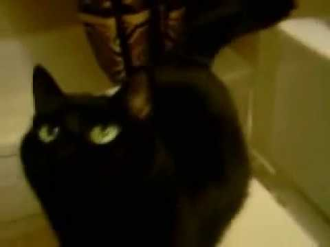 Cats Beautiful Black Bombay Cats talking She's purrrrrfect