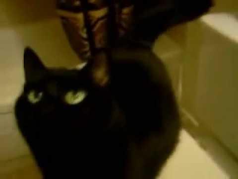 Cats Beautiful Black Bombay Cats talking She's purrrrrfect