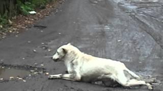 Собака эпилепсик