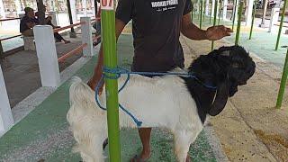Harga kambing etawa pasar hewan srengat blitar 1 Agustus 2021 | Sahabat sapi dolan pasar