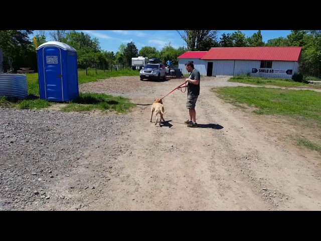 Pitbull trained Off Leash - Dog Training Guelph, Kitchener, Hamilton, Cambridge